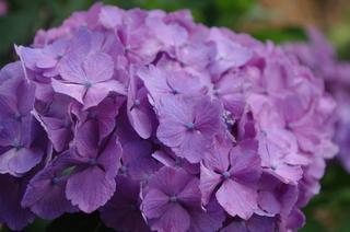 あじさい・紫.JPG