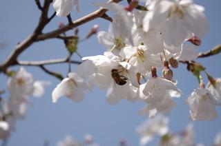 サクラと蜜蜂.JPG