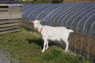 山羊のユキちゃん