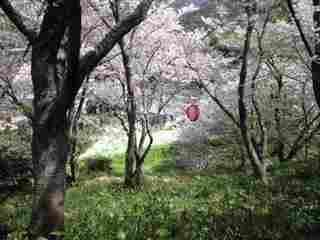 110414湯浅桜1.JPG